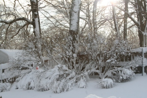 The branches of our bushes in the backyard were weighed down with the weight of the snow that had fallen overnight.