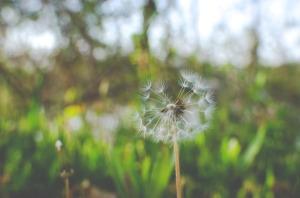 dandelion-925721_960_720