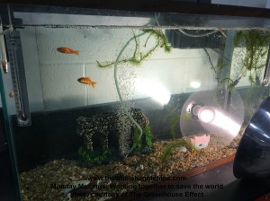 Fish are an integral part of The Greenhouse Effect's final project.